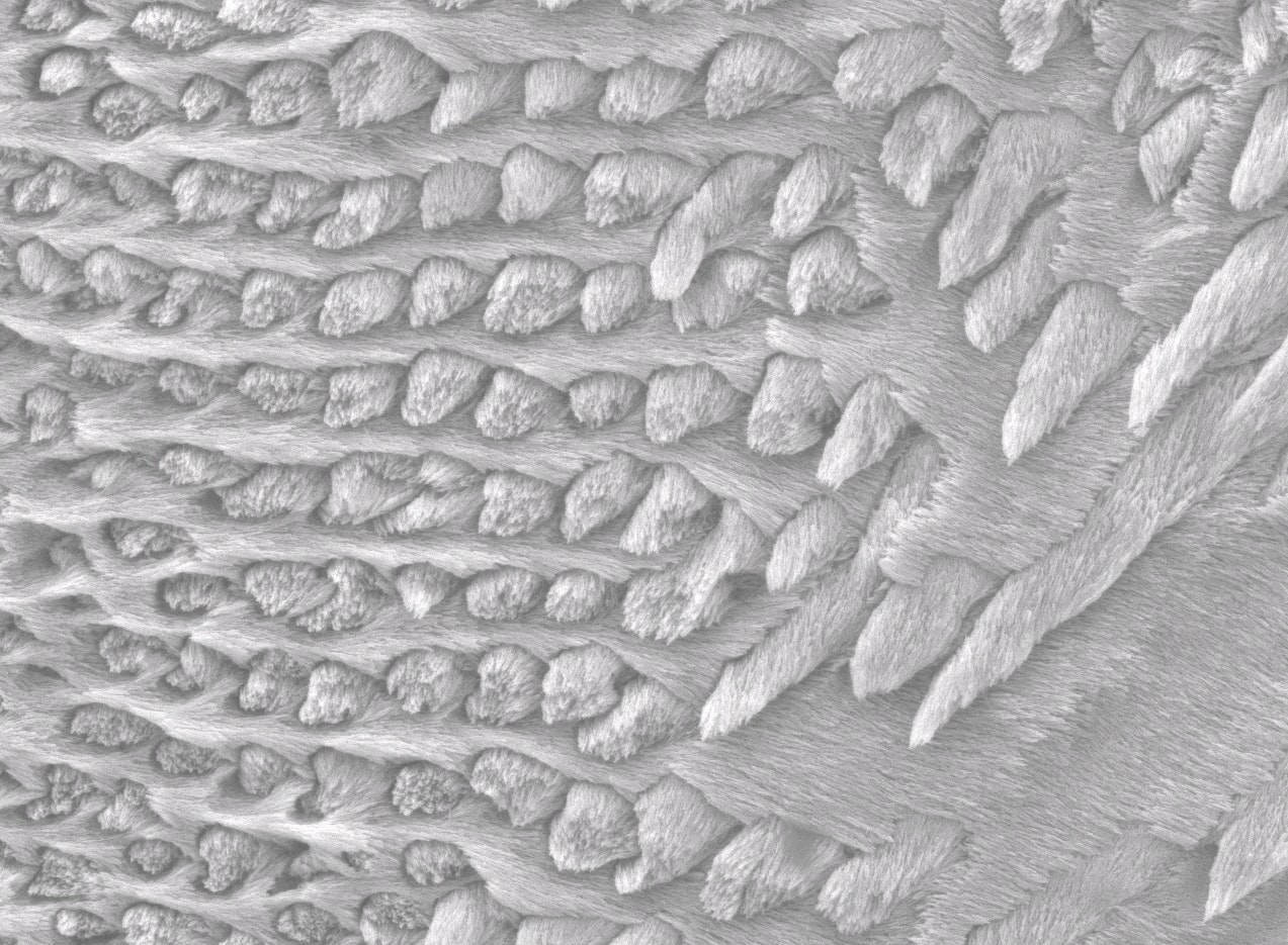 Detail of the microscopic structure of a baboon's molar enamel.